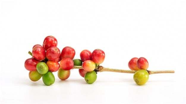 Grãos de café arábica frescos