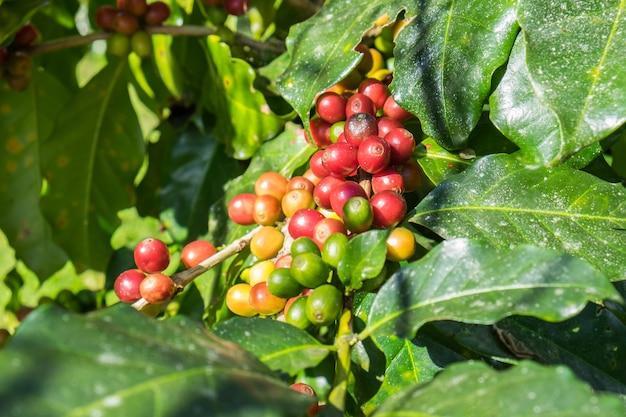 Grãos de café arábica maduro em uma árvore
