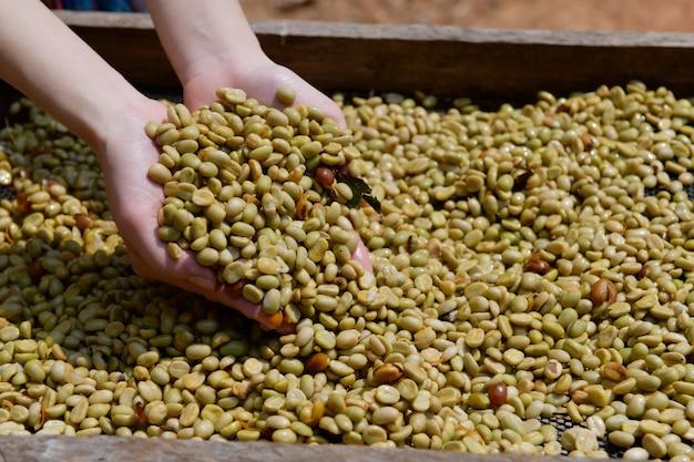 Grãos de café arábica que passaram pelo processo de branqueamento e separando a casca e depois expondo ao sol para secar