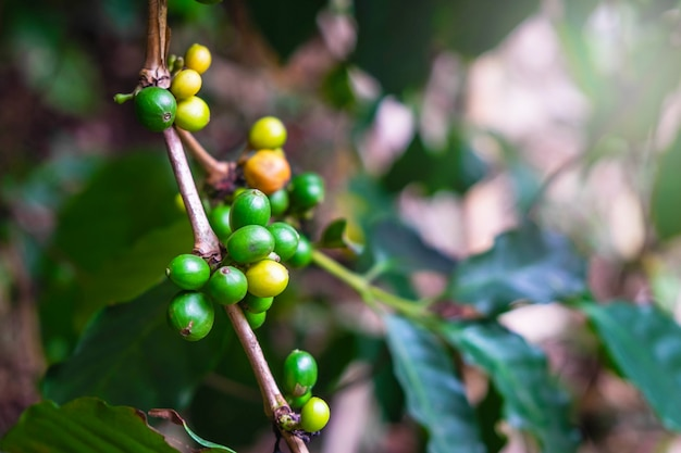 Grãos de café crus de árvores de café