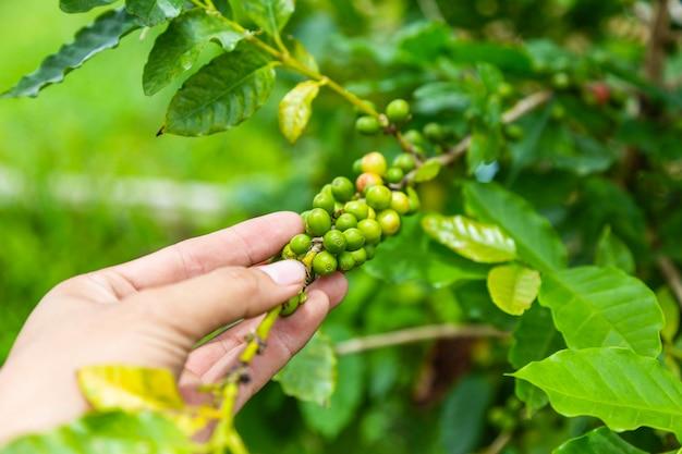 Grãos de café crus de cafeeiros frescos e crus