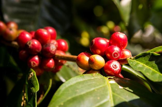 Grãos de café do jardim