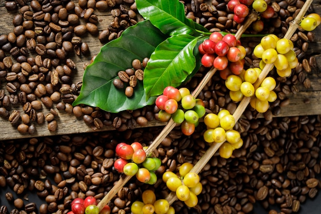 Grãos de café em folhas verdes de café