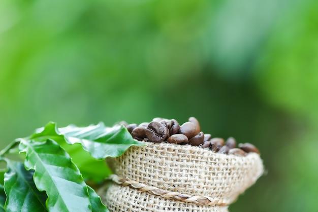 Grãos de café em saco de café torrado no saco com folha verde na mesa de madeira e natureza