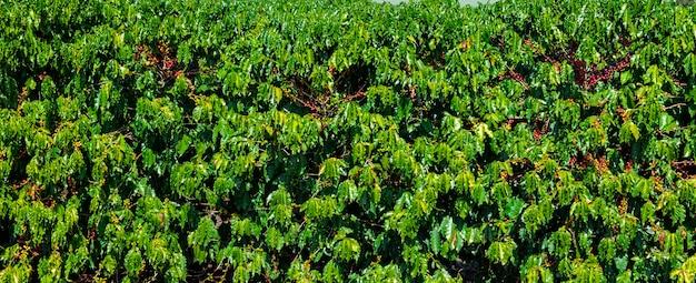 Grãos de café em um galho de árvore. grãos de café arábica vermelho e verde que amadurecem na árvore na plantação de café.