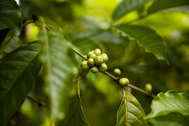 Grãos de café em um galho de cafeeiro com folhas
