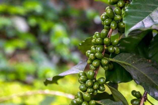 Grãos de café em uma árvore com foco suave e luz de fundo