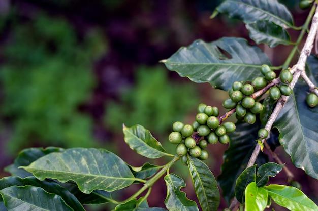 Grãos de café em uma árvore
