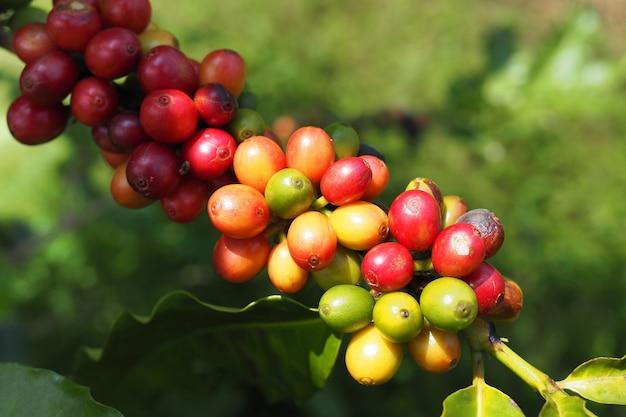 Grãos de café frescos com folhas gree na árvore no jardim
