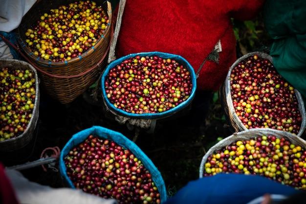 Grãos de café frescos crus da terra agrícola na cesta do agricultor