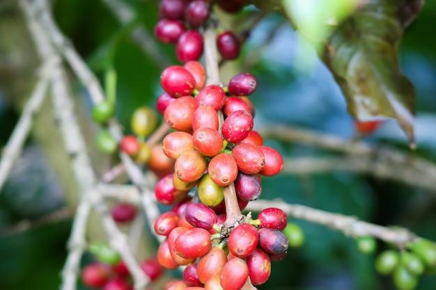 Grãos de café frescos em galhos de árvores