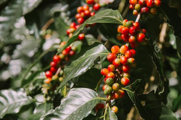 Grãos de café frescos em vermelho na árvore.