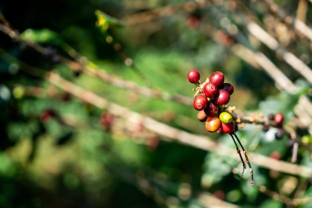 Grãos de café frescos