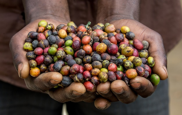 Grãos de café maduro na largura de uma pessoa. este de áfrica. cafezal.