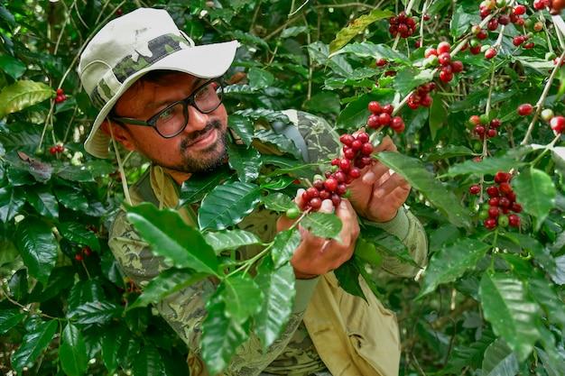 Grãos de café na árvore