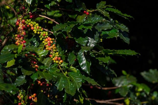 Grãos de café na árvore.