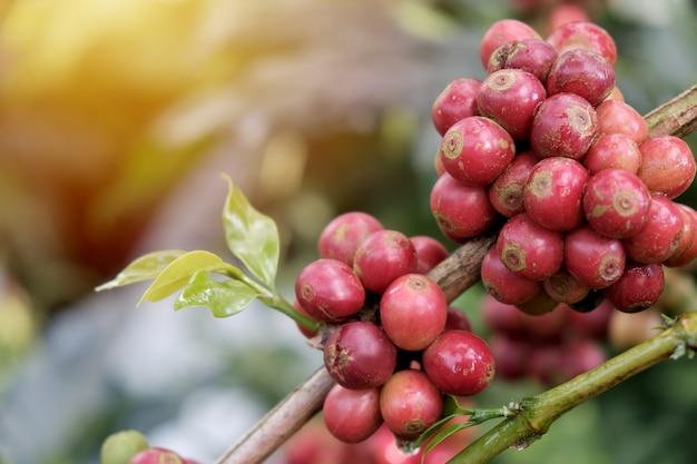 Grãos de café no jardim de café