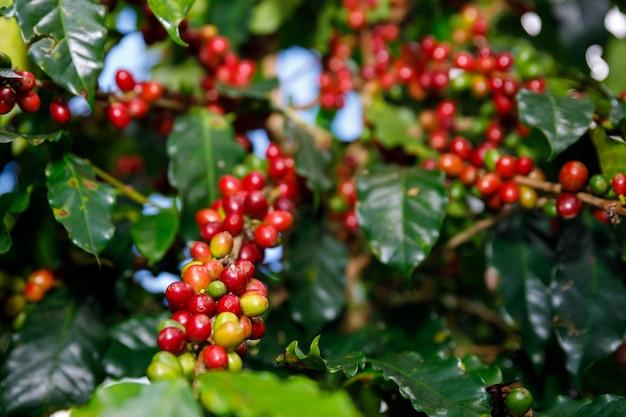 Grãos de café red cherry orgânico 100% da planta de café antes da colheita em chiang rai tailândia