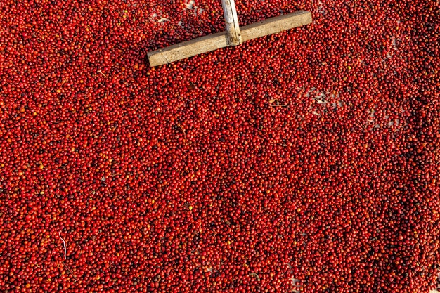 Grãos de café secando ao sol. plantações de café em fazenda de café