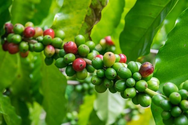 Grãos de café verde e vermelho arábica na árvore no jardim tailândia