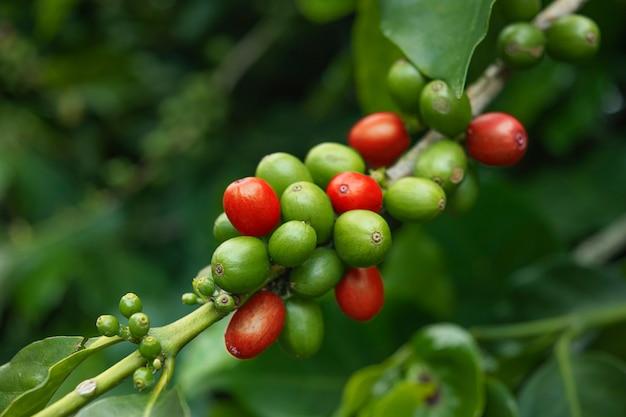 Grãos de café verde e vermelho