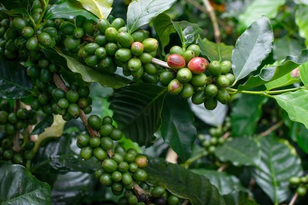 Grãos de café verde nos galhos das árvores de café.