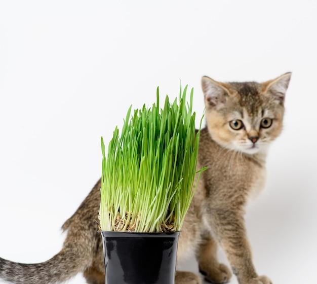 Grãos de cereais germinados em um pote de plástico preto, grama verde para gatos. alimento natural saudável para a saúde e chinchila britânica pura