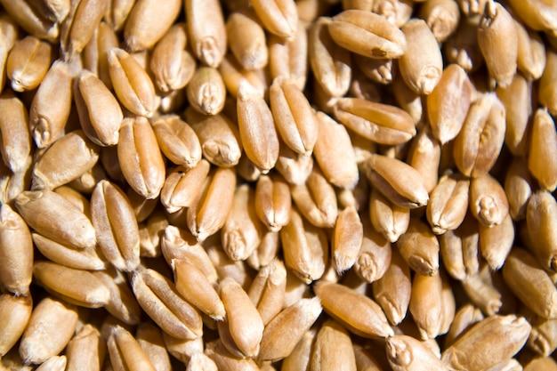 Grãos de trigo de malte para a fermentação de malte fundo vista de cima plana lay