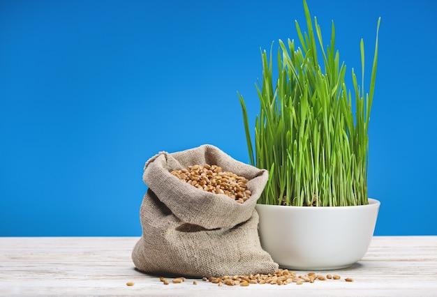 Grãos de trigo em saco de lona e brotos de trigo verde em copo branco na superfície de madeira. fundo azul.