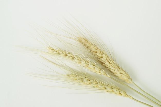 Grãos de trigo no fundo branco.