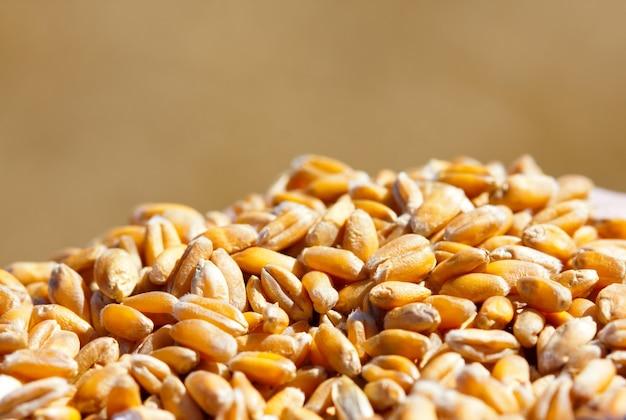 Grãos de trigo