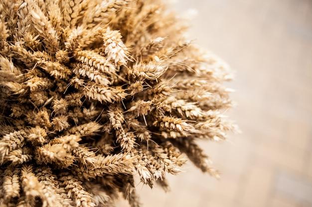 Grãos maduros colhidos em espigas de milho coletados