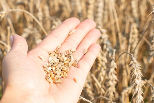 Grãos maduros, espigas de trigo nas mãos de uma agricultora. produto ecologicamente correto.