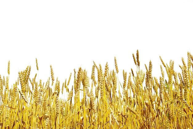Grãos prontos para colheita crescendo em um campo agrícola