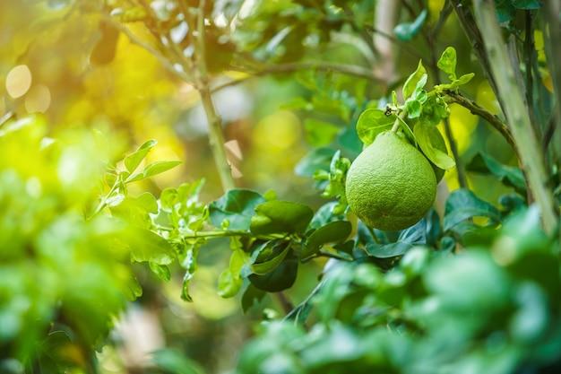 Grapefruit verde cresce na árvore de toranja em um jardim, colha frutas cítricas