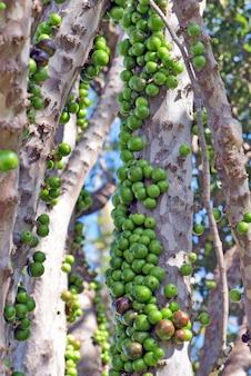 Grapetree ou jabuticabeira brasileira com frutas verdes