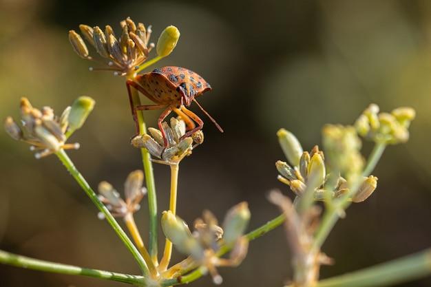Graphosoma semipunctatum. inseto em seu ambiente natural.