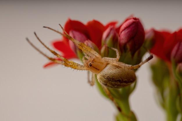 Grass neoscona spider da espécie neoscona moreli em flaming katy plant da espécie kalanchoe blossfeldiana