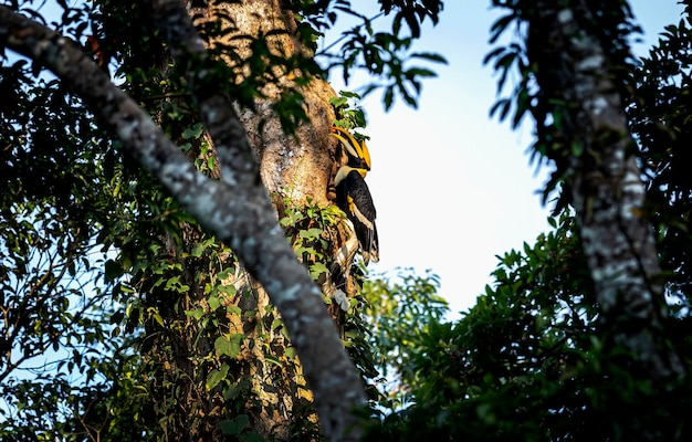 Great hornbill buceros bicornis na floresta tropical