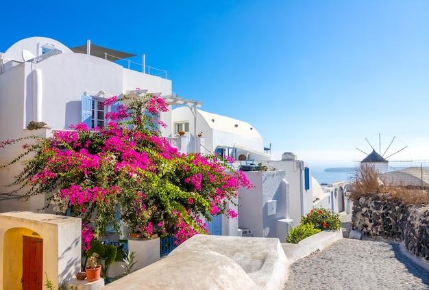 Grécia. dia de verão ensolarado na rua vazia oia, na ilha de santorini. um grande arbusto florido e um moinho de vento ao longe