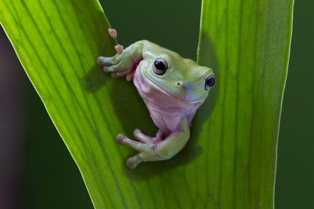 Green tree frog on leaf