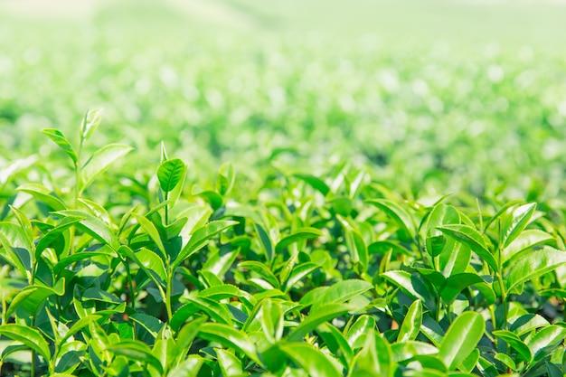 Greentea deixa campo de agricuture de planta de chá verde