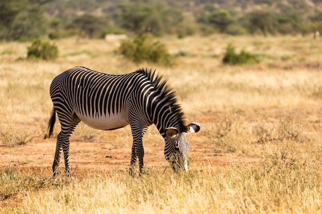 Grevy zebra está pastando no interior de samburu, no quênia