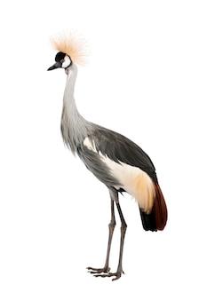 Grey crowned crane - balearica regulorum em um branco isolado