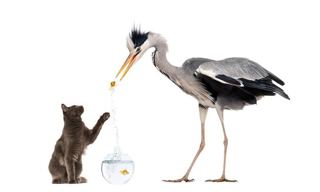 Grey heron e um gato brincando com um peixinho dourado