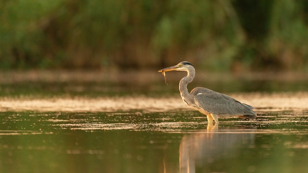 Grey heron no habitat captura peixes. ardea cinerea.