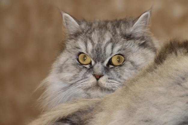 Grey, kawaii, cute, fofo scottish highland straight longhair cat com grandes olhos laranja e bigode comprido na cama em casa. feche o retrato.