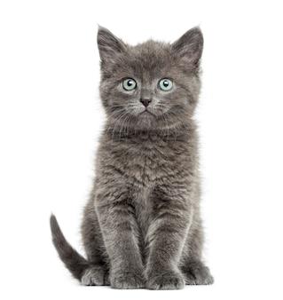 Grey shorthair britânico sentado, 7 semanas de idade, isolado no branco
