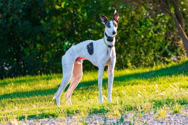 Greyhound (cachorro) de cor branca e manchas pretas. com colar colorido e com cães gps. em um parque com árvores e gramado verde na tarde ensolarada.