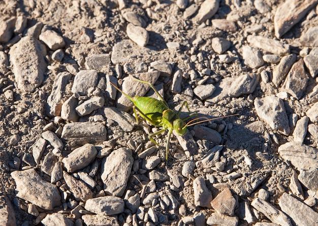 Grilo verde na estrada de pedra